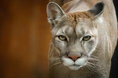 Στενό περπάτημα Cougars πορτρέτου νέο στοκ φωτογραφίες με δικαίωμα ελεύθερης χρήσης