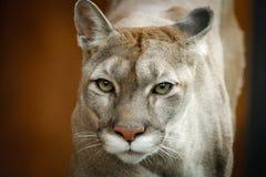 Στενό περπάτημα Cougars πορτρέτου νέο στοκ φωτογραφία με δικαίωμα ελεύθερης χρήσης