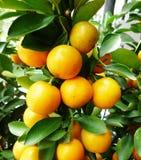 στενό πορτοκάλι επάνω Στοκ Εικόνα