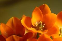 στενό πορτοκαλί αστέρι επά& Στοκ φωτογραφία με δικαίωμα ελεύθερης χρήσης
