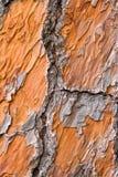 στενό πορτοκαλί πεύκο β ε Στοκ Εικόνες