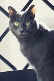 Στενό πορτρέτο μιας θηλυκής μπλε ρωσικής/καρθουσιανής γάτας στοκ εικόνες