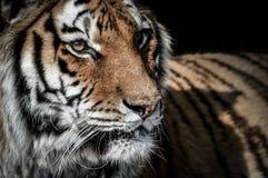 Στενό πορτρέτο μιας τίγρης στοκ εικόνες