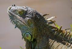 στενό πράσινο iguana επάνω Στοκ Φωτογραφία