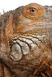 στενό πράσινο iguana 6 επάνω στο έτος Στοκ Φωτογραφία