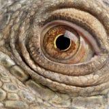στενό πράσινο iguana 6 επάνω στο έτος Στοκ φωτογραφία με δικαίωμα ελεύθερης χρήσης
