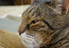 στενό πρόσωπο γατών - επάνω Στοκ Εικόνα