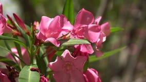 στενό ροζ λουλουδιών ε&p Όμορφα λουλούδια του ροδαλού Μπους απόθεμα βίντεο