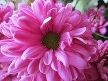 στενό ροζ λουλουδιών επάνω Στοκ εικόνες με δικαίωμα ελεύθερης χρήσης