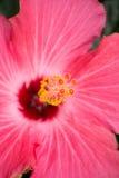 στενό ροζ λουλουδιών ε& Στοκ Εικόνα