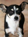 στενό σκυλί επάνω Στοκ Εικόνα