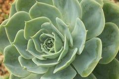 στενό φυτό κάκτων επάνω Στοκ Εικόνα