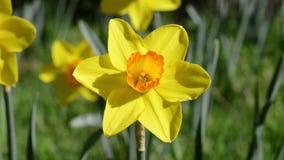 στενό daffodil επάνω απόθεμα βίντεο