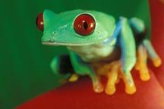 στενό eyed κόκκινο βατράχων επά& Στοκ Εικόνα