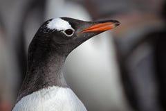 στενό gentoo της Ανταρκτικής penguin &epsil Στοκ εικόνα με δικαίωμα ελεύθερης χρήσης