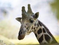 στενό giraffe επάνω Στοκ Εικόνα
