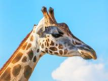 Στενό giraffe πορτρέτο Στοκ Φωτογραφία