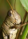 στενό grasshopper επάνω Στοκ φωτογραφία με δικαίωμα ελεύθερης χρήσης