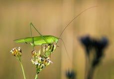 στενό grasshopper πεδίων επάνω Στοκ Εικόνες