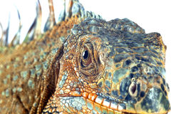 στενό iguana επάνω Στοκ Εικόνες