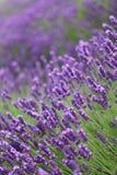 στενό lavender πεδίων επάνω Στοκ Εικόνες