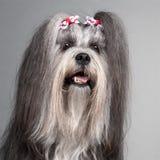 στενό lhasa hairbows apso που φορά επάνω Στοκ εικόνες με δικαίωμα ελεύθερης χρήσης