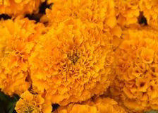 στενό marigold λουλουδιών επάν&omeg Στοκ Εικόνες