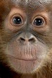 στενό orangutan μωρών sumatran επάνω Στοκ εικόνα με δικαίωμα ελεύθερης χρήσης