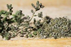 στενό oregano λουλουδιών επάν&omega στοκ εικόνες