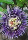 στενό passiflora επάνω στη βιολέτα Στοκ Φωτογραφίες