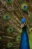 στενό peacock επάνω στοκ εικόνα με δικαίωμα ελεύθερης χρήσης