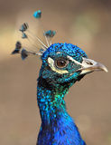στενό peacock επάνω στοκ εικόνες