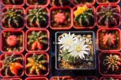 στενό phpto εστίασης λουλουδιών κάκτων που επιλέγεται επάνω στοκ εικόνες
