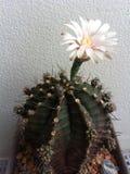 στενό phpto εστίασης λουλουδιών κάκτων που επιλέγεται επάνω Στοκ φωτογραφία με δικαίωμα ελεύθερης χρήσης