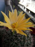 στενό phpto εστίασης λουλουδιών κάκτων που επιλέγεται επάνω Στοκ Φωτογραφία