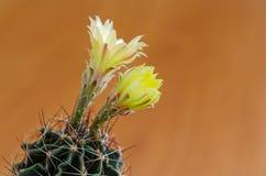 στενό phpto εστίασης λουλουδιών κάκτων που επιλέγεται επάνω Στοκ Φωτογραφίες