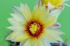 στενό phpto εστίασης λουλουδιών κάκτων που επιλέγεται επάνω Στοκ εικόνα με δικαίωμα ελεύθερης χρήσης