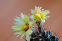 στενό phpto εστίασης λουλουδιών κάκτων που επιλέγεται επάνω Στοκ φωτογραφίες με δικαίωμα ελεύθερης χρήσης