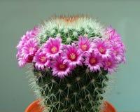 στενό phpto εστίασης λουλουδιών κάκτων που επιλέγεται επάνω Στοκ εικόνες με δικαίωμα ελεύθερης χρήσης