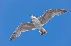 στενό seagull επάνω Στοκ Φωτογραφίες