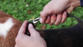 Στερέωση του λουριού στο περιλαίμιο σκυλιών ` s Να προετοιμαστεί για έναν περίπατο με το σκυλί απόθεμα βίντεο