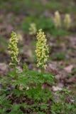 Στερεός-το marschalliana Corydalis Corydalis στο βοτανικό κήπο, Ουκρανία Στοκ Φωτογραφίες