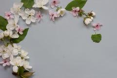 Στεφάνι ανθών λουλουδιών της Apple πέρα από το γκρίζο μπλε υπόβαθρο Στοκ Εικόνες