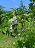 Στεφάνι των λουλουδιών μαργαριτών στον κλάδο δέντρων μηλιάς στοκ εικόνα