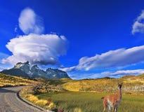 Στην άκρη του δρόμου που θέτει το χαριτωμένο guanaco στοκ φωτογραφία