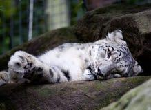 Στην Αυστραλία, η τίγρη βασίλισσας ύπνου Στοκ φωτογραφία με δικαίωμα ελεύθερης χρήσης