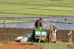 Στην εργασία στους τομείς Antsirabe Στοκ Εικόνες