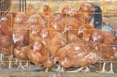 Στην ημέρα κοτετσιών, μερικά καφετιά κοτόπουλα στοκ φωτογραφία με δικαίωμα ελεύθερης χρήσης