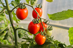 Στην ντομάτα θερμοκηπίων, γεωργία Στοκ εικόνες με δικαίωμα ελεύθερης χρήσης