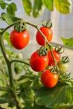 Στην ντομάτα θερμοκηπίων, γεωργία Στοκ εικόνα με δικαίωμα ελεύθερης χρήσης